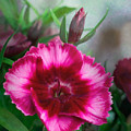 Dianthus Flower II by David and Carol Kelly