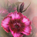 Dianthus Flower IIi by David and Carol Kelly