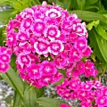 Dianthus by Gayle Miller