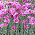 Dianthus Gold Dust Flowers by Tim Gainey