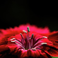 Dianthus In Desperation by April Zaidi