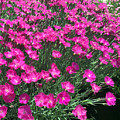 Dianthus by James Pinkerton