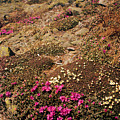 Diapensia And Lapland Rosebay by Tim  Canwell