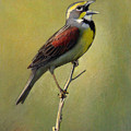 Dickcissel Summer Song by Bruce Morrison