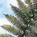 Dicksonia Frond by Tim Gainey