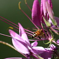 Digging In The Stamens by David Dunham