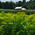 Dill Field Hudson Valley Ny by Diane Lent