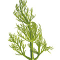 Dill Plant by Dominic White
