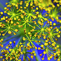 Dill Weed Seed Macro by Sharon Talson