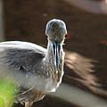 Ding Darling - Juvenile Black-crowned Night Heron Looking At You by Ronald Reid