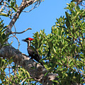 Ding Darling - Pileated Woodpecker Resting by Ronald Reid