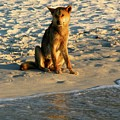 Dingo On The Beach by Gregory E Dean