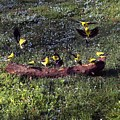 Goldfinch Convention by Nick Kloepping