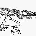 Dinosaur: Corythosaurus by Granger