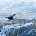 Dipper Searching For Food by Alan Grant