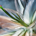 Dirty White Lily 2 by Margaux Dreamaginations