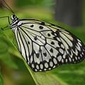 Distinctive Side Profile Of A White Tree Nymph Butterfly by DejaVu Designs