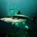 Dive With The Sharks by Jim Kuhlmann
