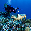 Diver And Green Sea Turtle Chelonia by Tim Laman