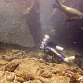 Diver And Sea Lion by Matt Swinden