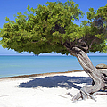 Divi Tree of Aruba