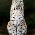 Divinity by Big Cat Rescue