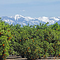 Dm6850-e Orange Grove And The Sierra Nevada Ca by Ed Cooper Photography