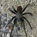 Dn6804 Desert Tarantula by Ed Cooper Photography
