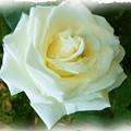 Do-00300 La Rose De Aaraya by Digital Oil