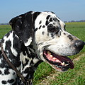 Dodgy The Dalmation by Susan Baker