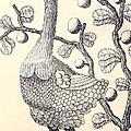Dodo Bird Rodriguez Solitaire, Extinct by Biodiversity Heritage Library