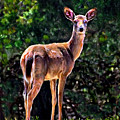 Doe A Deer In Thousand Trails by Bob and Nadine Johnston