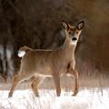 Doe A Deer by Kristin Yata