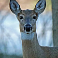 Doe A Deer by Steve Gass
