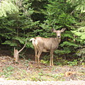 Doe At Suttle Lake by Juli House