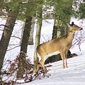 Doe Emerges by Imagery-at- Work