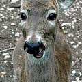 Doe Eyed Deer Talk by LeeAnn McLaneGoetz McLaneGoetzStudioLLCcom