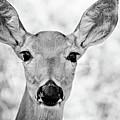 Doe Eyes - Bw by Lana Trussell