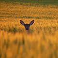 Doe In The Wheat by William Caine