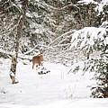 Doe In Winter Snow  by Gwen Gibson