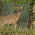 Doe On A Foggy Morning In Wyoming by Dennis Hammer