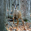 Doe On The Move by Steve Gass