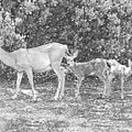Doe With Twins Pencil Rendering by Frank Wilson