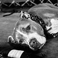 Dog At The Ring by Elena Rojas Garcia