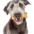 Dog Carrying Bone Biscuit In Mouth by Susan Schmitz
