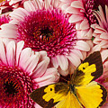 Dog Face Butterfly On Pink Mums by Garry Gay
