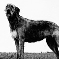 Dog: Irish Wolfhound by Granger