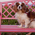 Dog On Pink Bench by Mandy Judson
