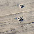 Dog Tracks In The Sand At Carmel Beach by Charles Kogod
