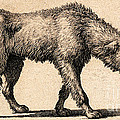 Dog With Rabies, Engraving, 1800 by Wellcome Images